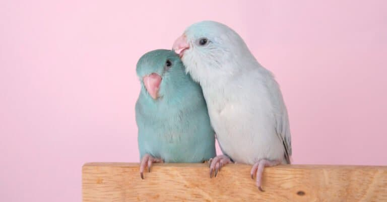 mother and baby parrotlet