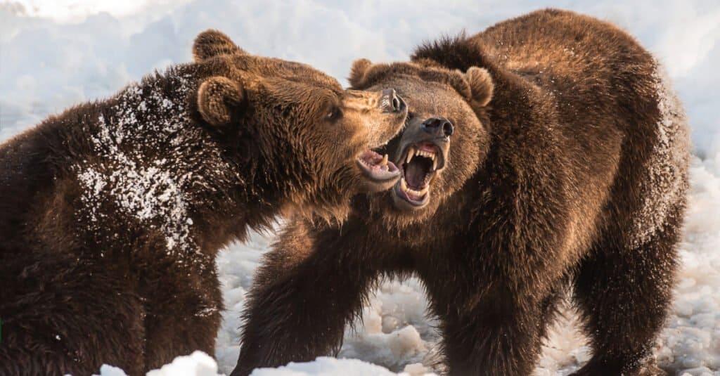 Polar Bear vs Grizzly - Two Grizzlies Battle