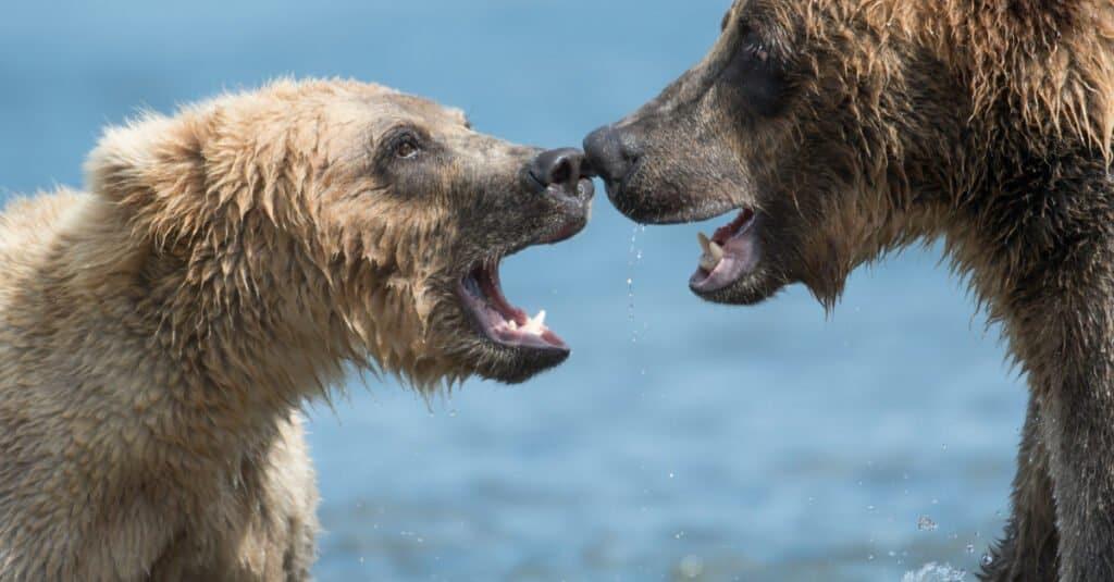 Polar bear vs Grizzly - Showdown