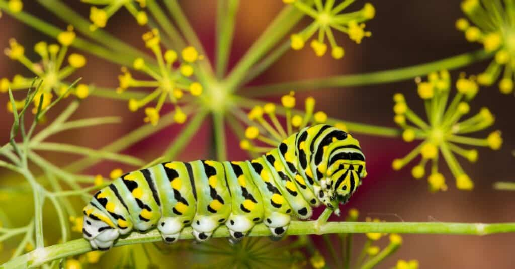 Largest caterpillars - Parsleyworm