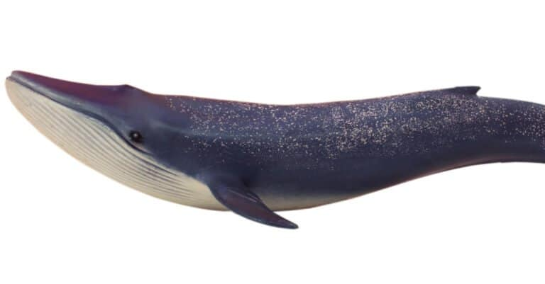 isolated blue whale