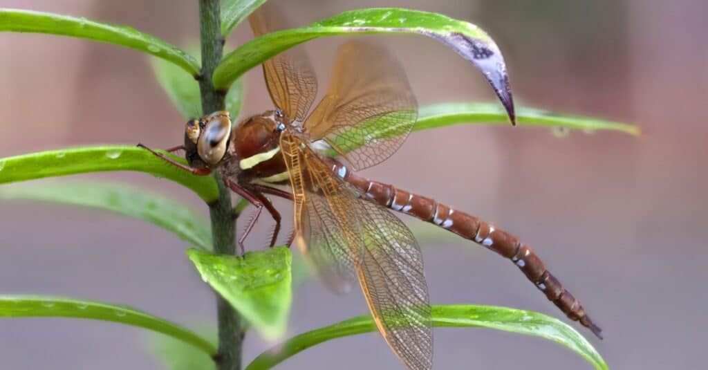 Largest dragonflies - Brown Hawker