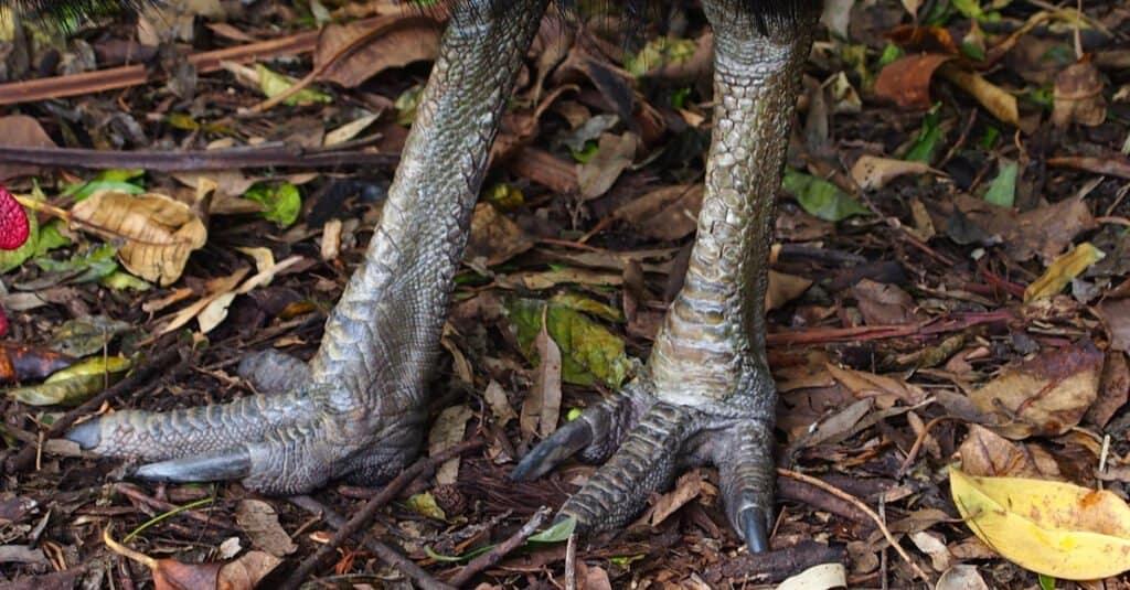 Cassowary Claw - Two Feet