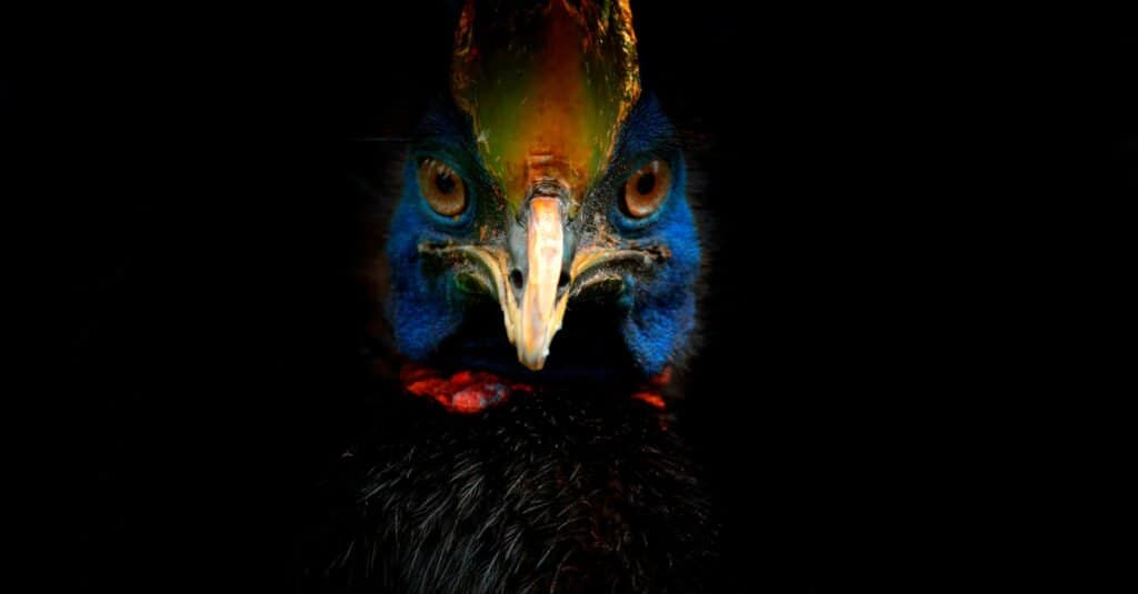 Cassowary Attack - Isolated Face