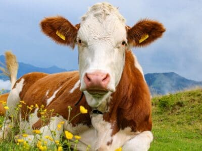 A How Many Stomachs Does A Cow Have (And Why?)