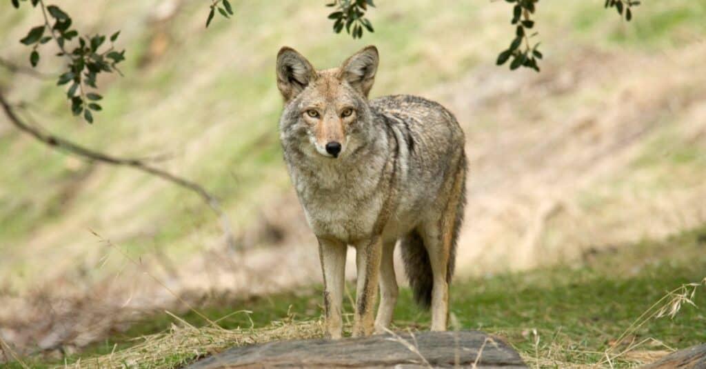 coyote walking in the field