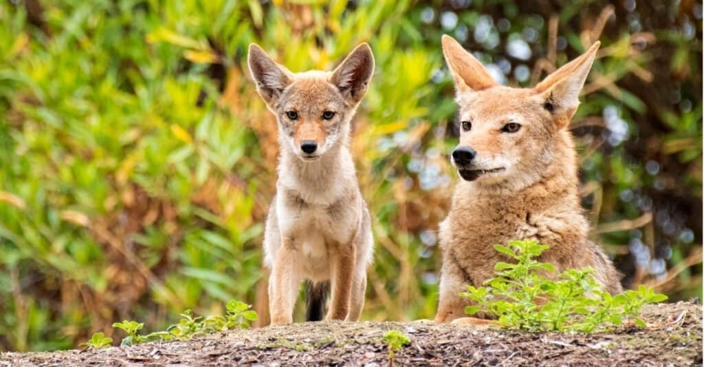 mother and baby coyote on a rock