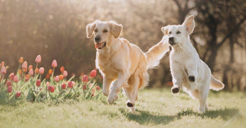 two golden retrievers running together