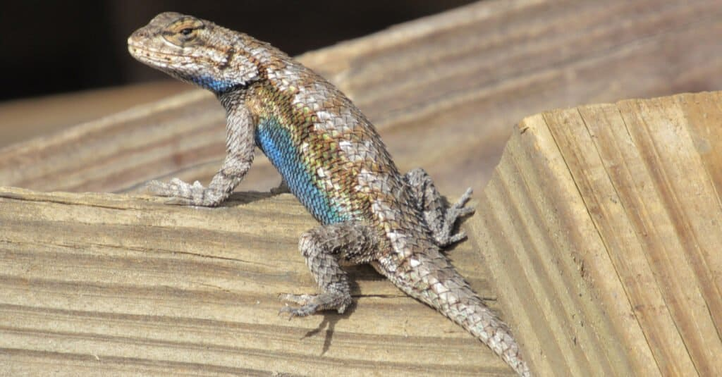 eastern fence lizard sitting on wood