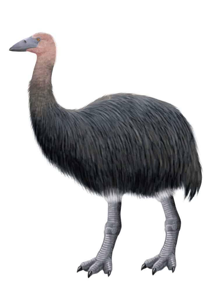 Cassowary Size - Elephant Bird