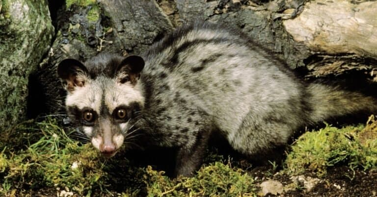 genet crouched down by a tree