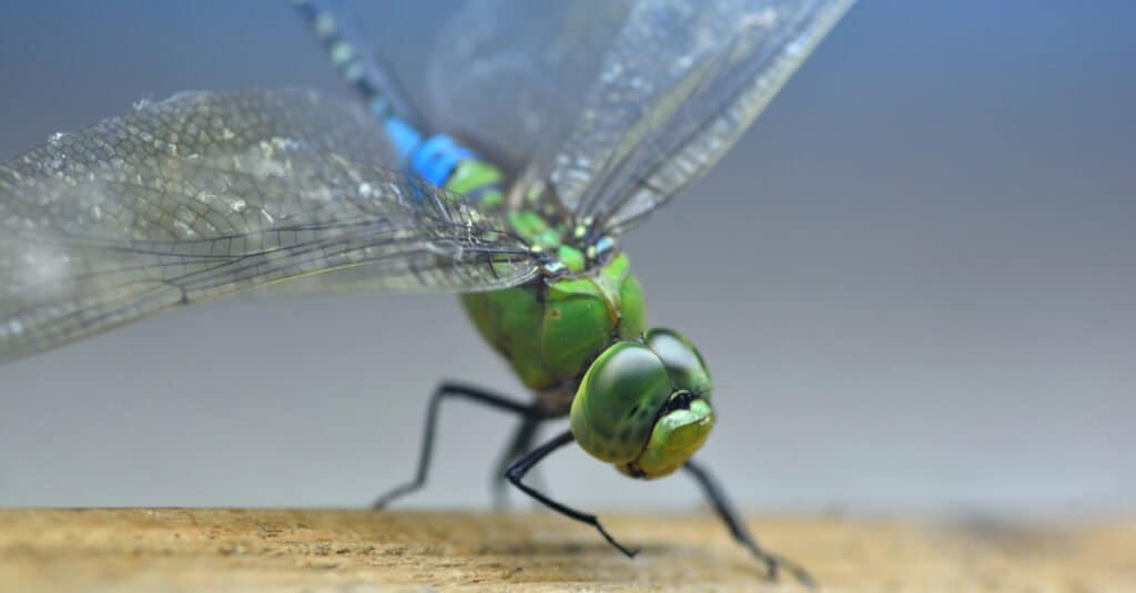 Largest dragonfly - common green darner