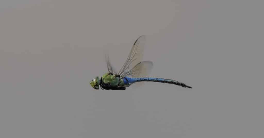 Largest dragonfly - giant darner
