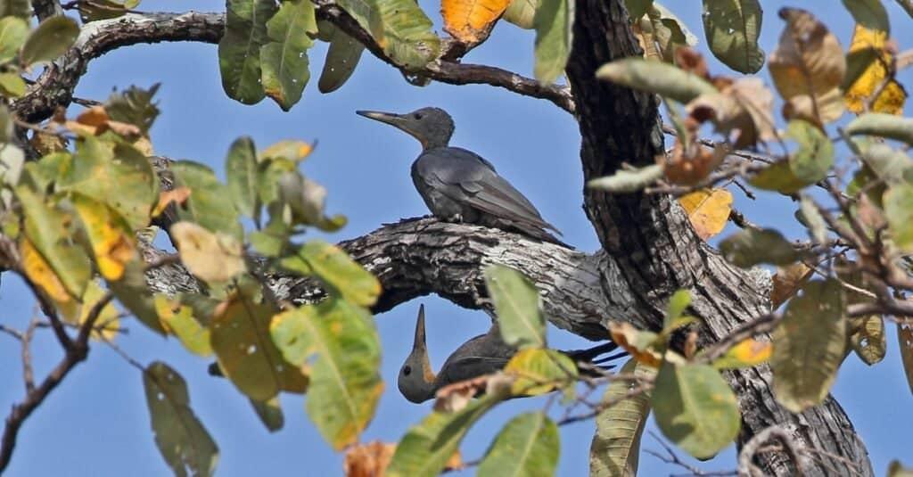 Largest woodpeckers - Great Slaty