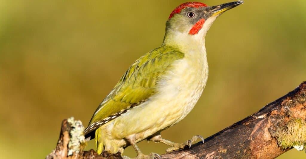 Largest woodpecker - European Green