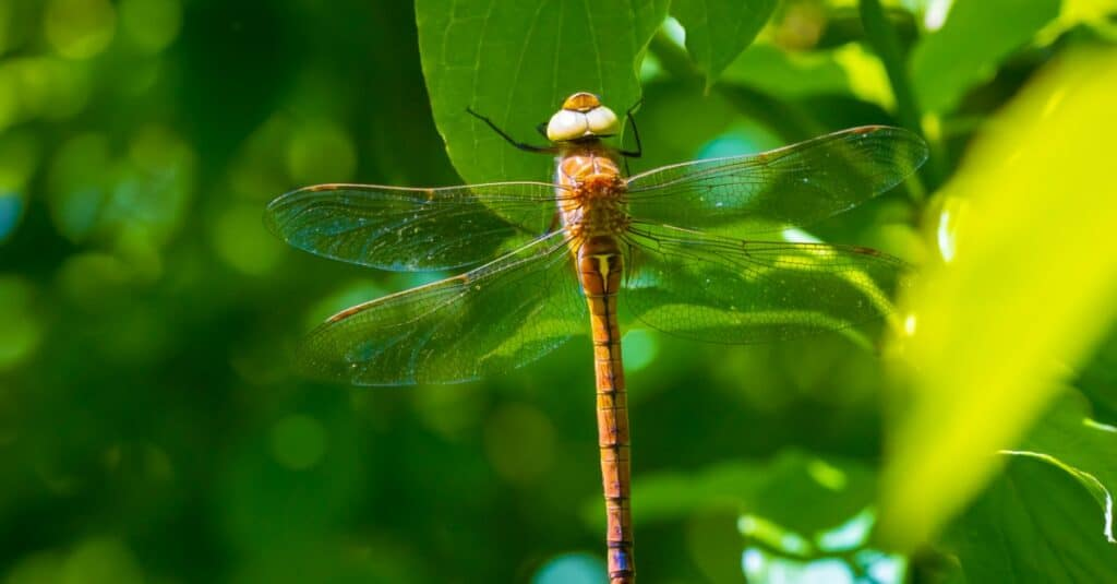 Largest dragonflies - green-eyed hawker