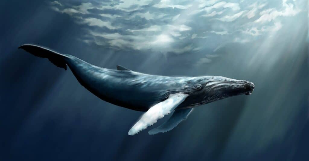 humpback whale swimming just under surface level