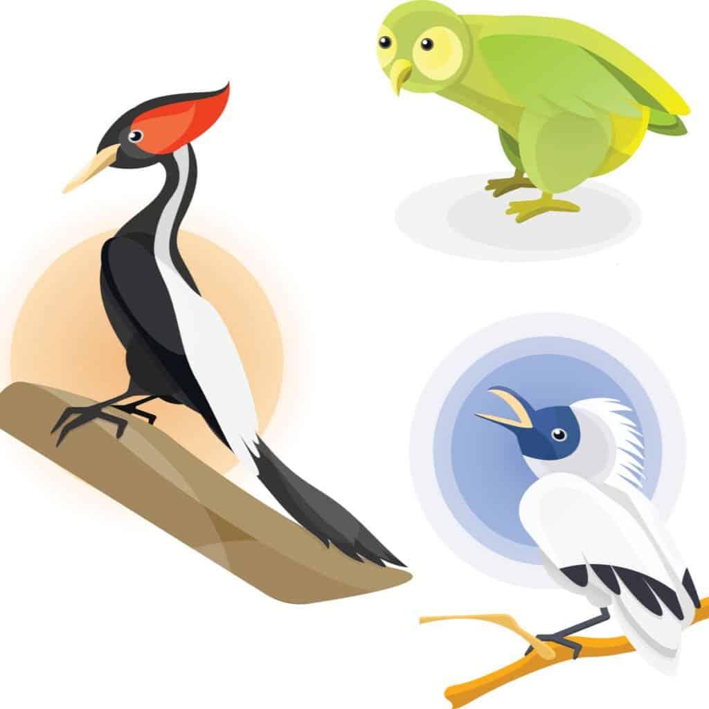 Largest woodpecker - Imperial woodpecker