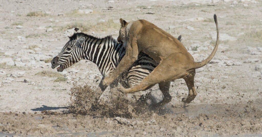 What do lions eat - lion hunting zebra
