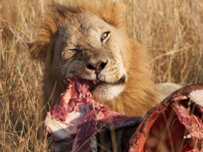 A What Do Lions Eat? 15 Animals They Hunt