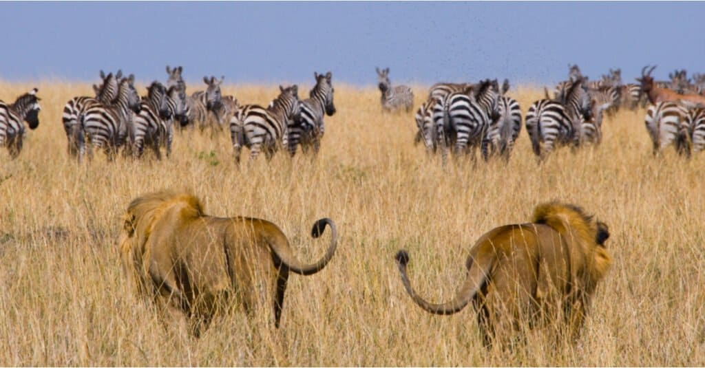 What do lions eat - hunting zebras