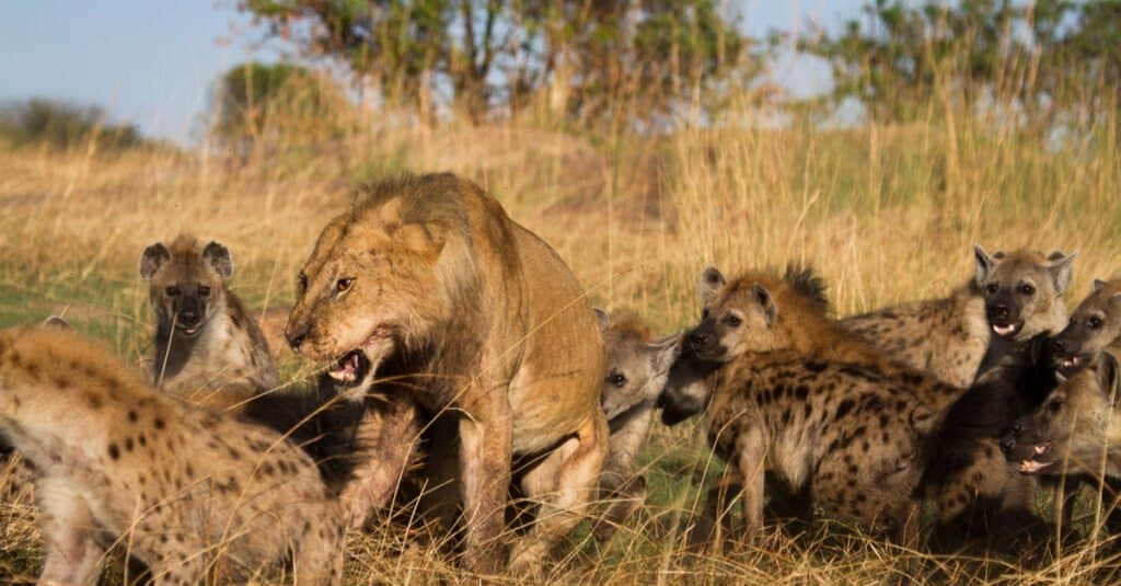 What do lions eat - lion vs hyena