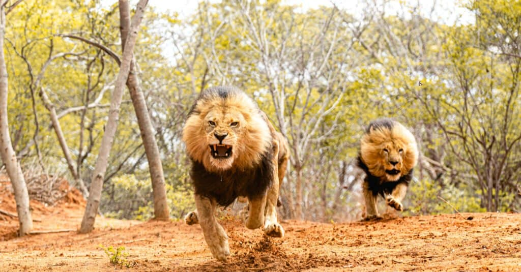 Types of Lions - Running Lions