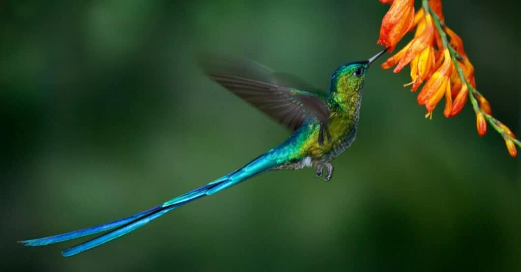Largest hummingbird - Long-Tailed Sylph