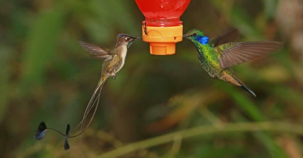 Largest hummingbird - Marvelous Spatuletail