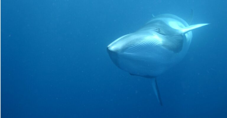 minke whale swimming in the ocean