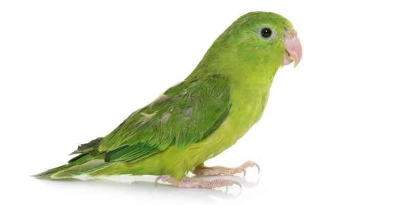 isolated green parrotlet