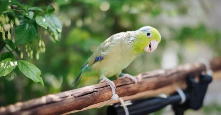 Parrotlet- parrotlet on branch