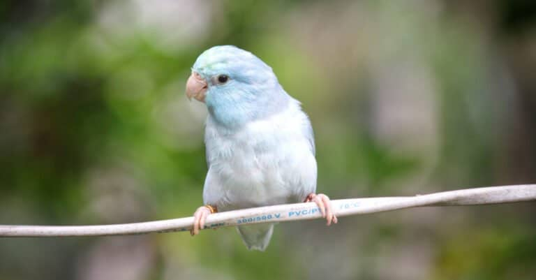 blue and white parrotlet sitting on branch
