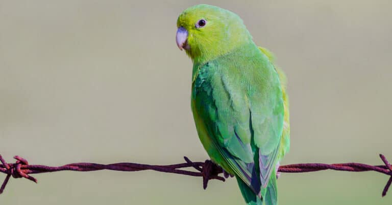blue-winged parrotlet looking to the side