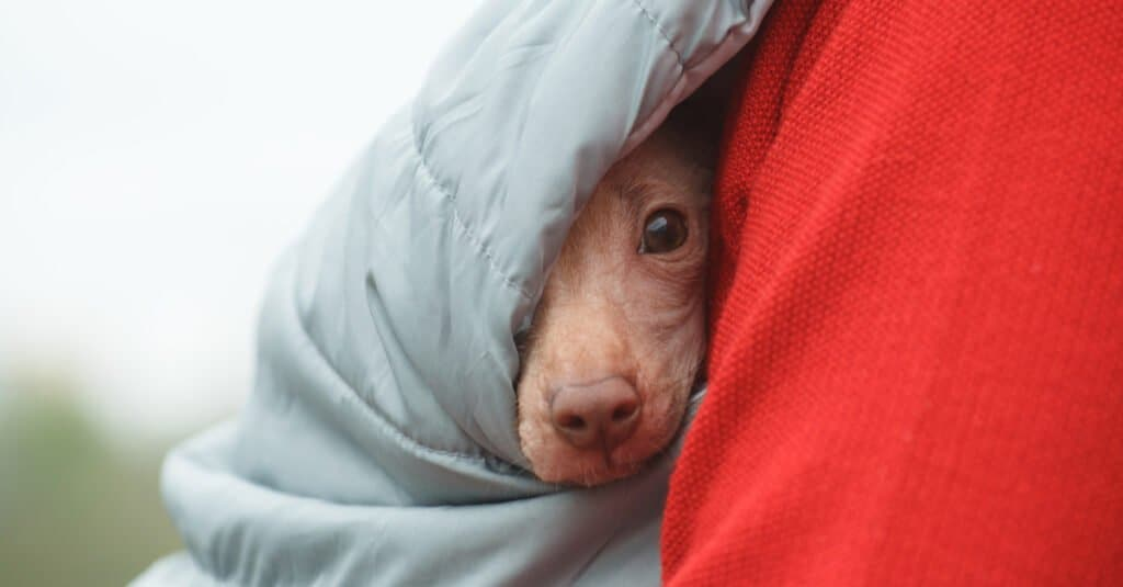 peruvian inca orchid puppy wrapped in blanket