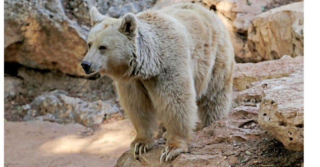 Polar Bear vs Grizzly - Pizzly Bear
