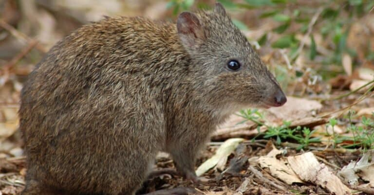 potoroo sitting in a wooded area