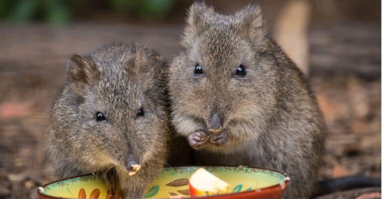 potoroos eating together