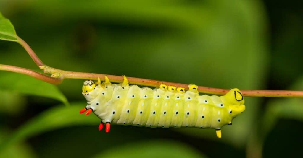 Largest caterpillars - Promethea