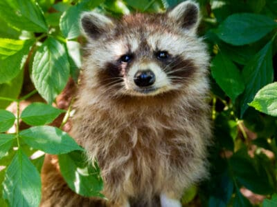 A Are Raccoons Dangerous?