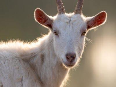 A Saanen Goat