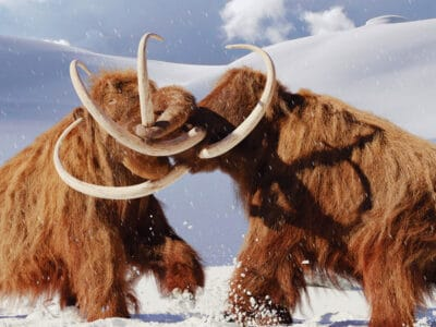 A Resurrecting the Woolly Mammoth