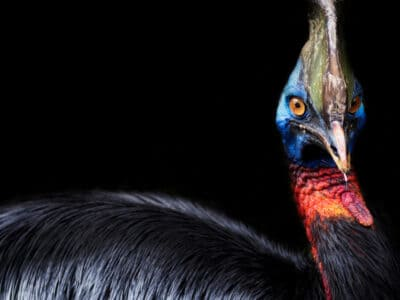 A Cassowary Size Guide: Their Height, Weight, and Record Size!