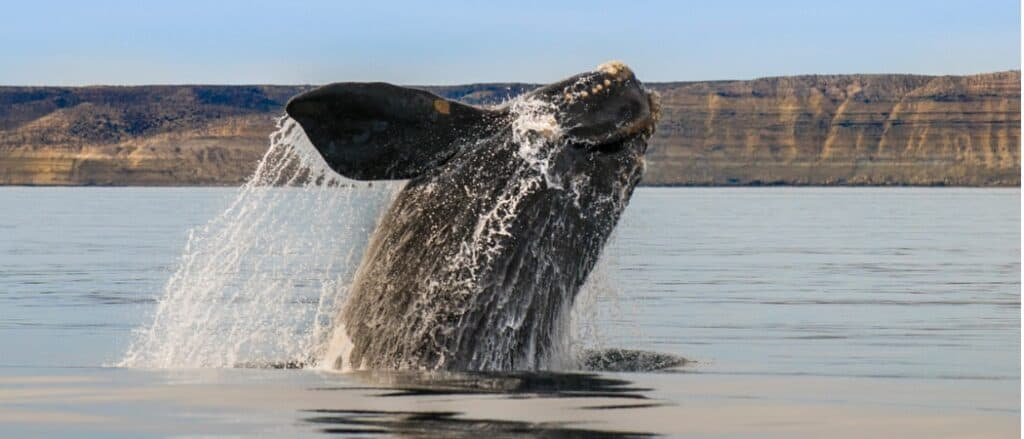 southern right whale coming out of water