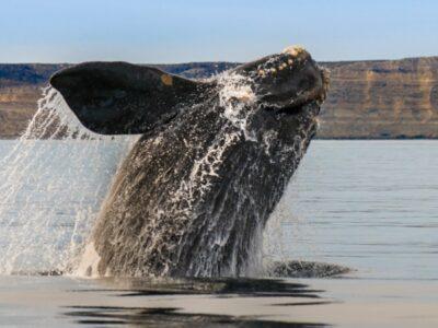 A Baleen Whale