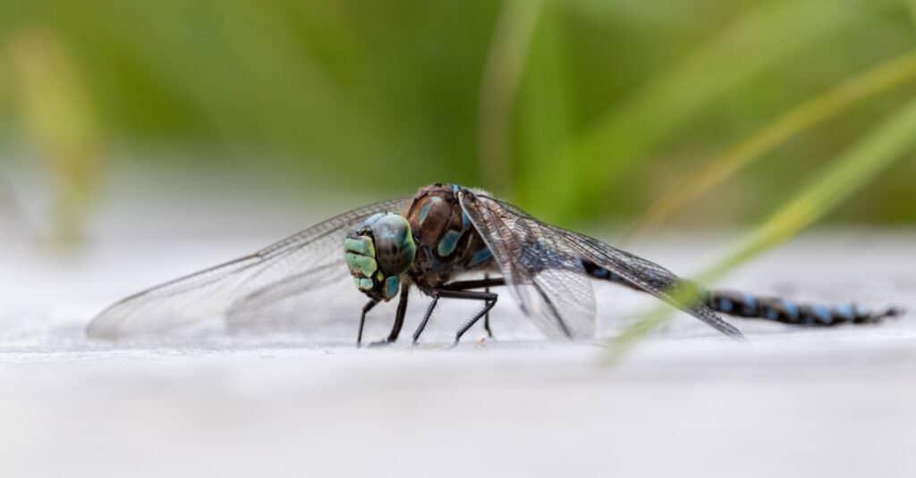 Largest dragonflies - swamp darner