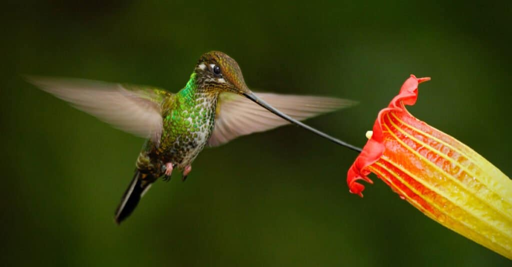 Largest hummingbirds - Sword-Billed Hummingbird