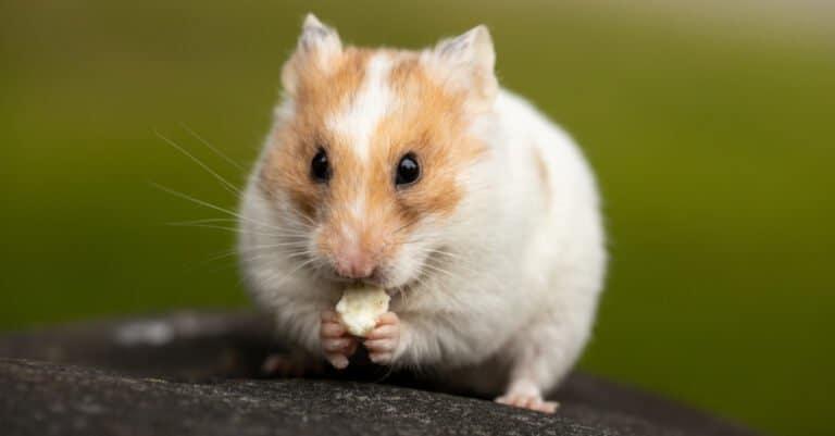 teddy bear hamster eating