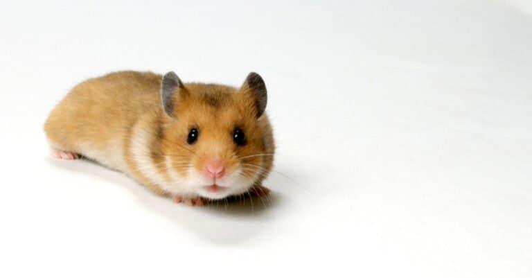 isolated teddy bear hamster