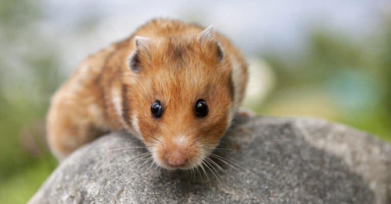 teddy bear hamster on a rock